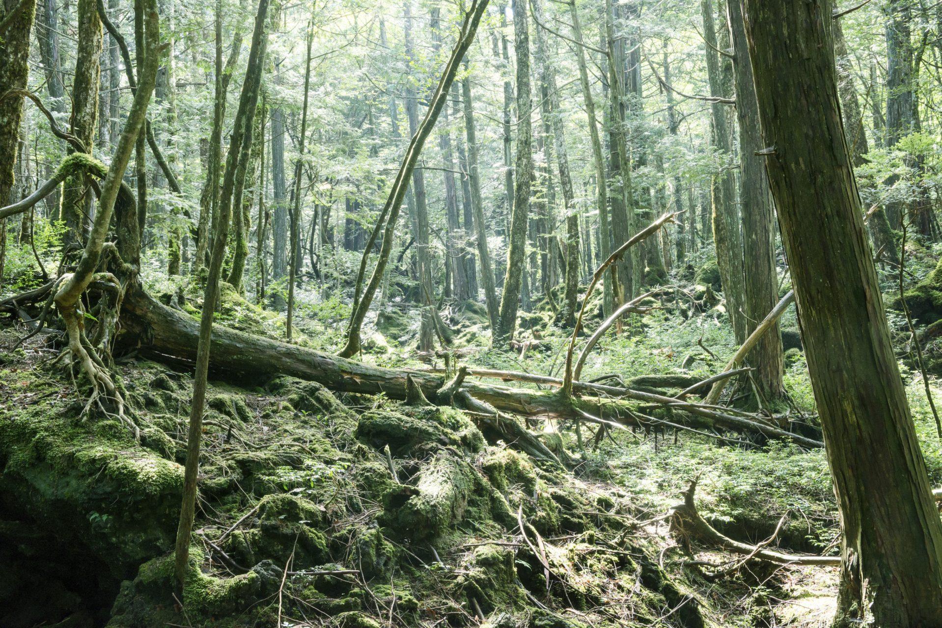 Der Selbstmordwald –  Aokigahara, Japan