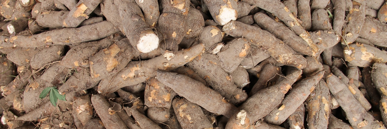 Maniok - Die 7 gefährlichsten Lebensmittel der Welt